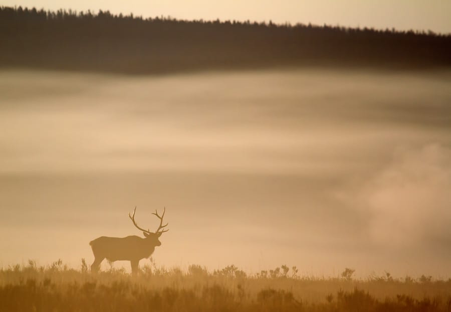 Foggy Morning Elk