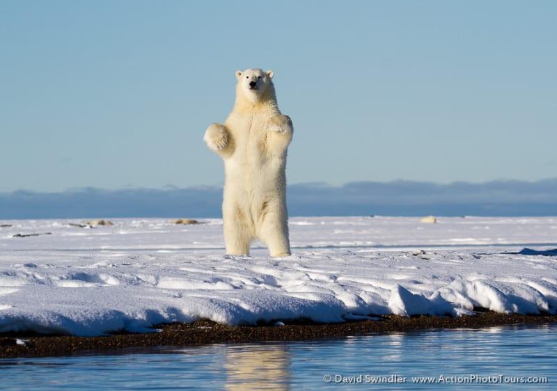 Standing Polar Bear