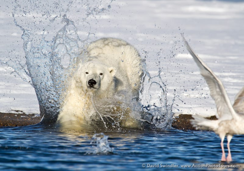 Polar Bear Action