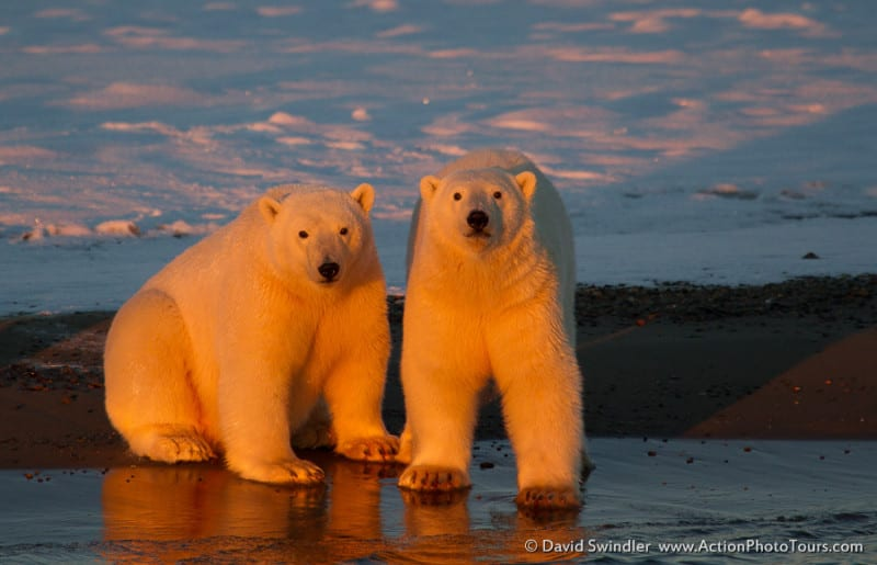 Evening Light on Polar Bears
