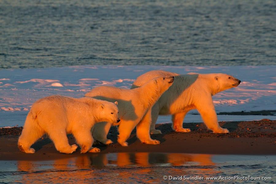 Polar Bear-18