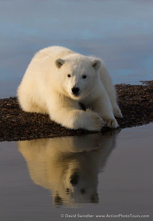 Polar Bear-44