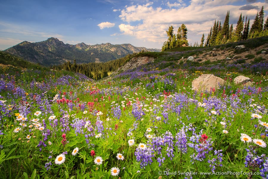 Naches Pass Wildflowers