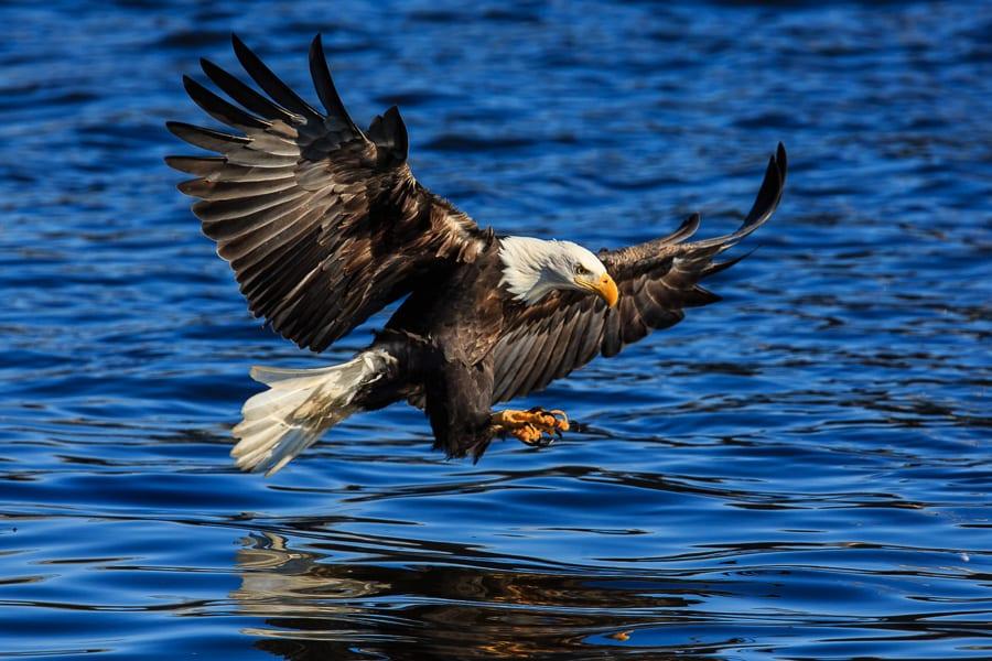 Mississippi River Bald Eagles