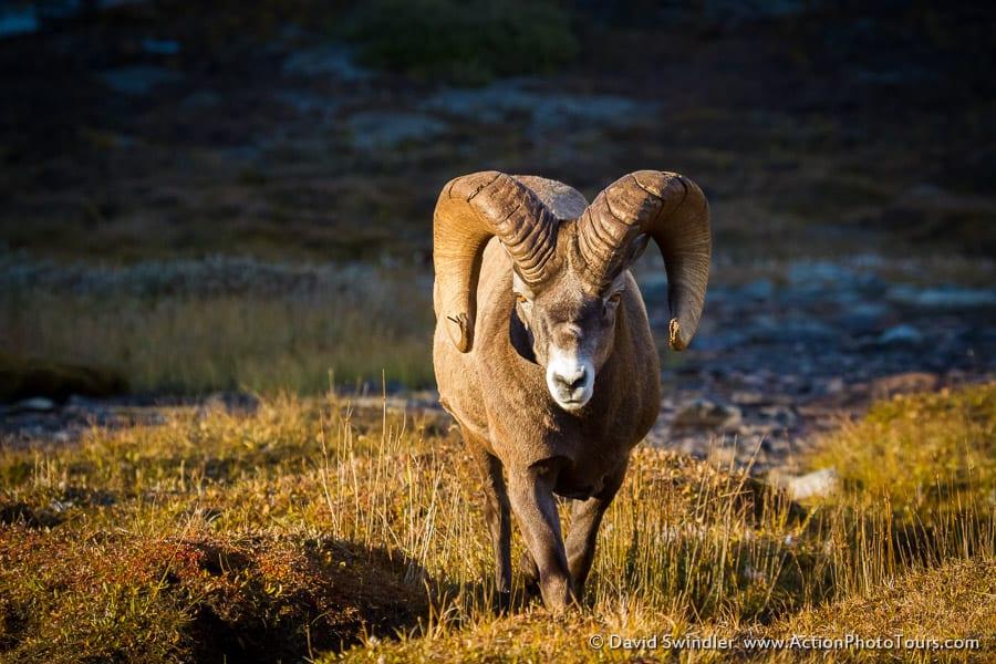 Wilcox Pass Bighorn Sheep