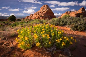 Wildflowers in the South Buttes