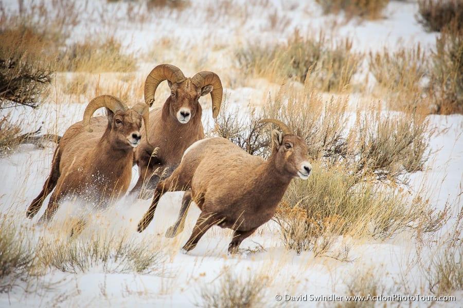 Bighorn Sheep Chase