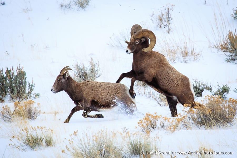 Bighorn Sheep Rut