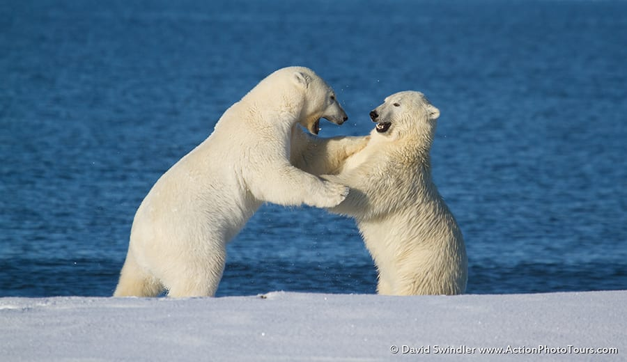 Polar Bears Sparring