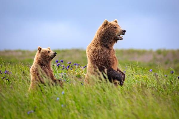 Standing Bears