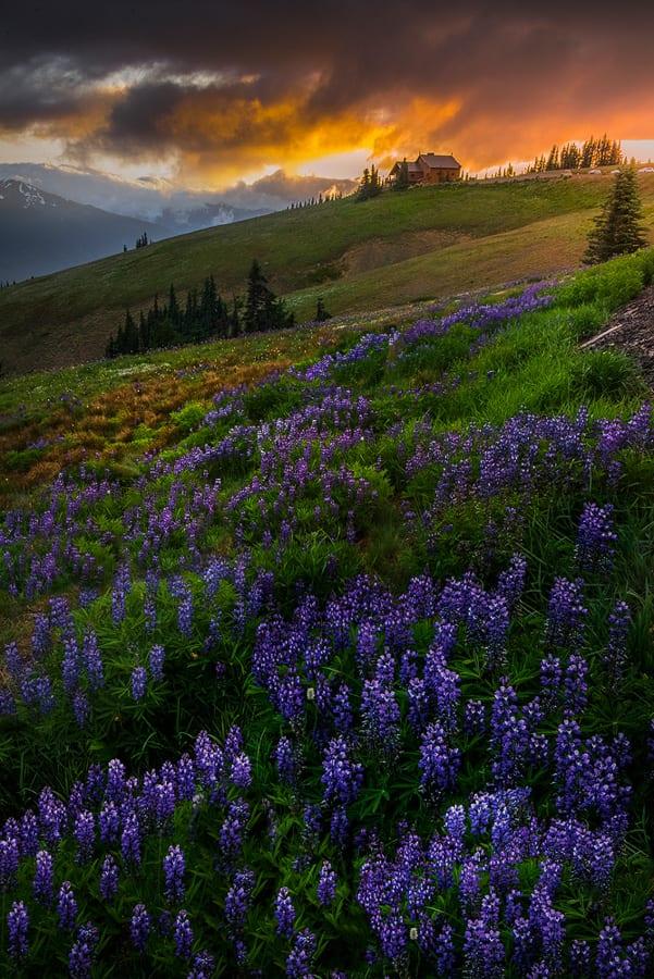 Olympic National Park Hurricane Ridge Wildflowers