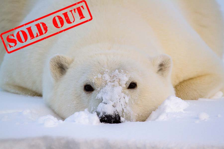 Alaska Polar Bear Photo Workshop-sold out