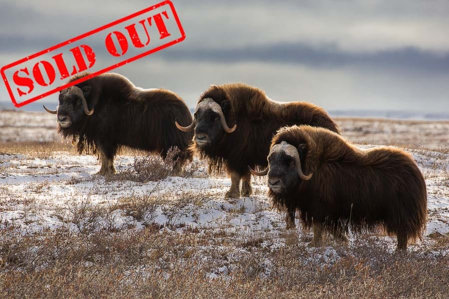 The North Slope of Alaska is one of the few places you can photograph musk oxen in the wild. This is the real deal - not like photographing them at the famous musk-oxen farm!  I liked this shot since the oxen broke from their grazing pattern and turned in my direction at the same time. That doesn't happen very often! 