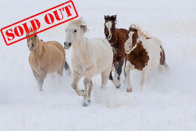 Horses in winters snow, Hideout Ranch, Shell Wyoming