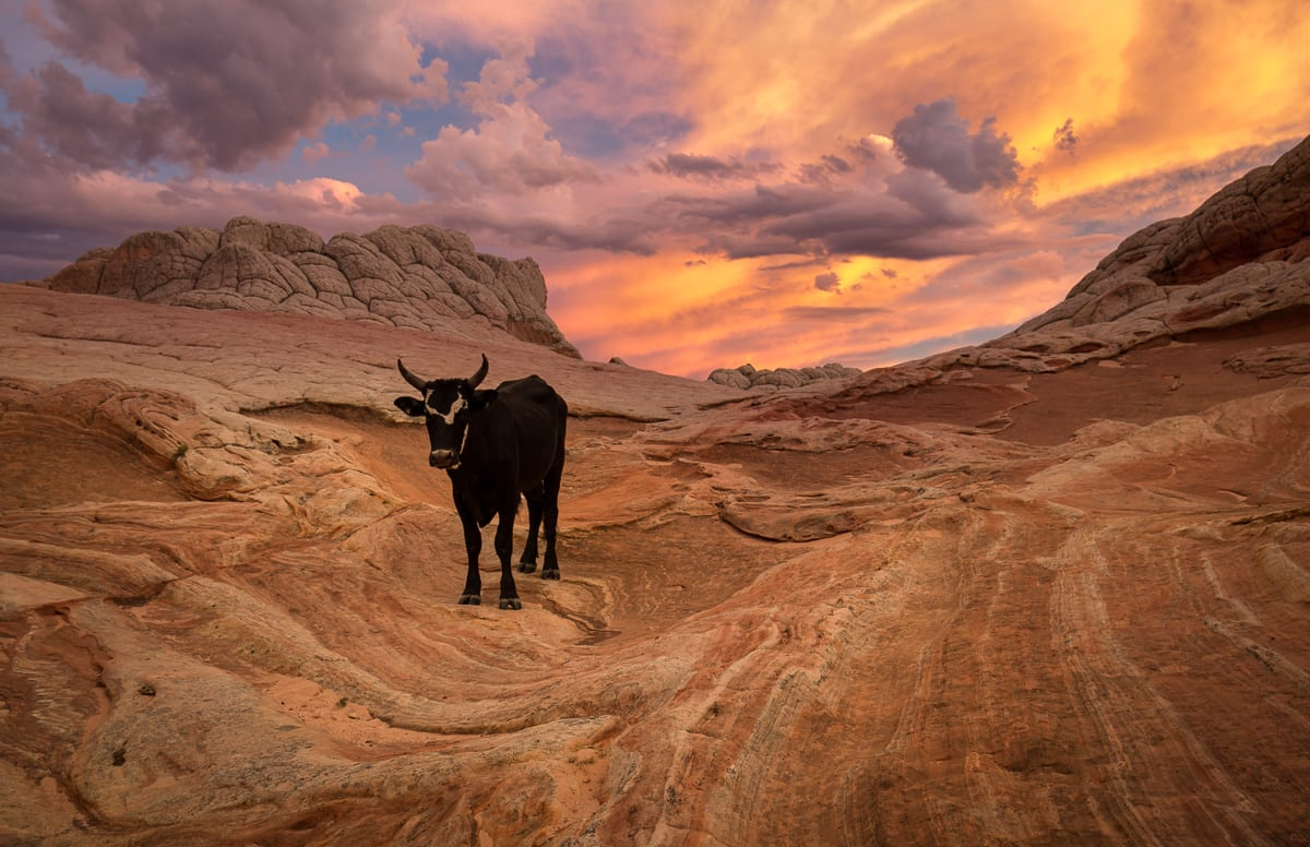 A cow decided to join us for sunset one evening at White Pocket. I don't know about you, but I'm surprised that they still allow cattle ranching at White Pocket. You would think this area is equally deserving of protection as Coyote Buttes. What do you guys think?