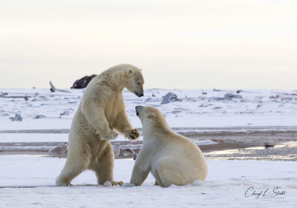 Cheryl Strahl Polar Bears