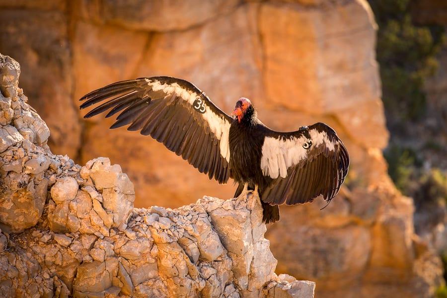 Grand Canyon Photo Workshop North Rim Photo Extravaganza Condor