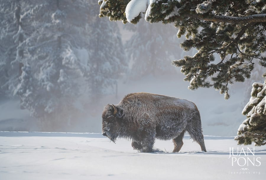 Yellowstone Winter Photo Workshop