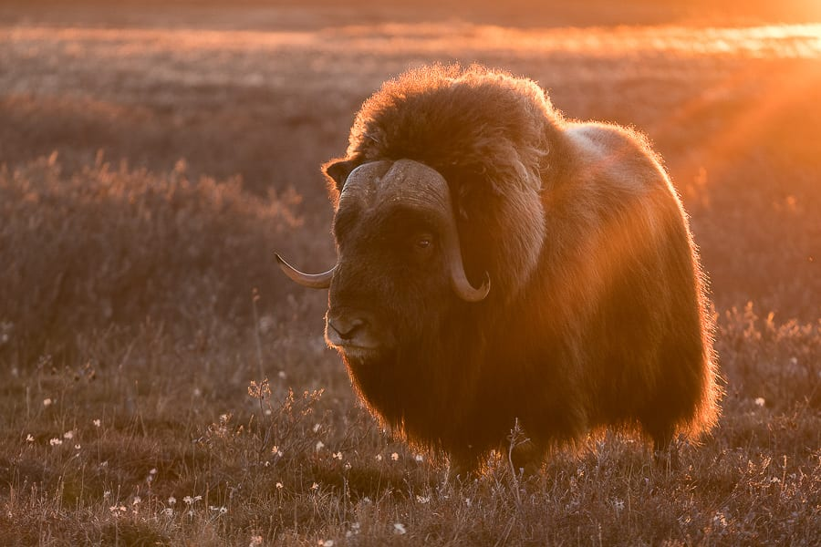 Musk Oxen Arctic Wildlife and Landscapes Photo Workshop