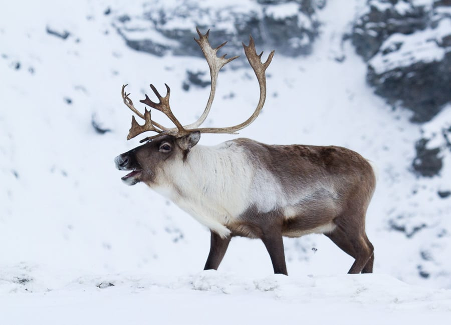 Caribou Arctic Wildlife and Landscapes Photo Workshop