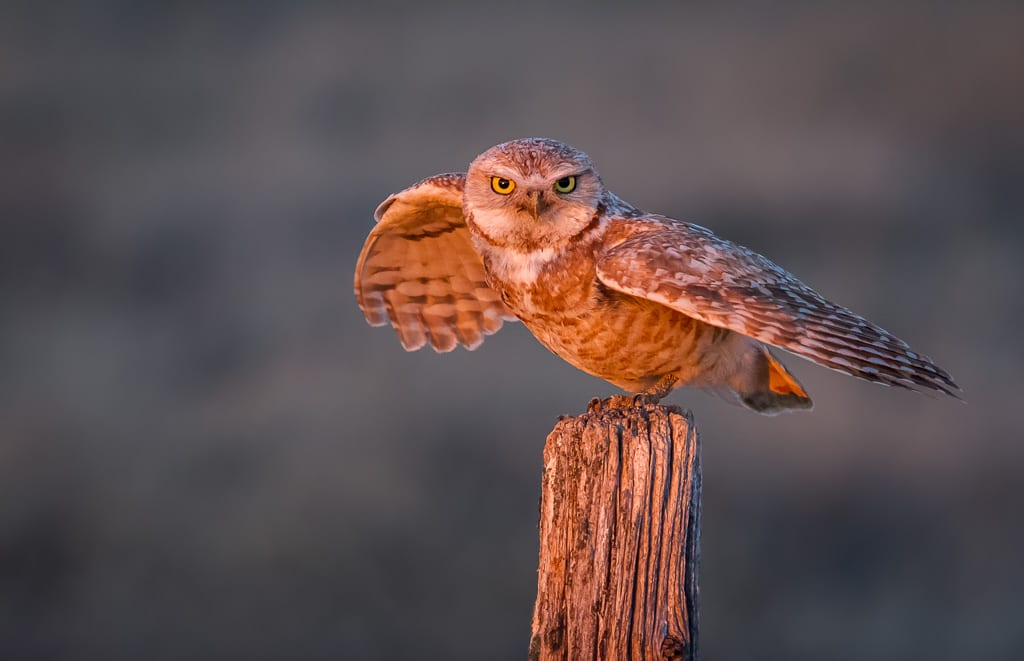 Shutter Speed Camera Settings for Wildlife Photography Burrowing Owl Flight
