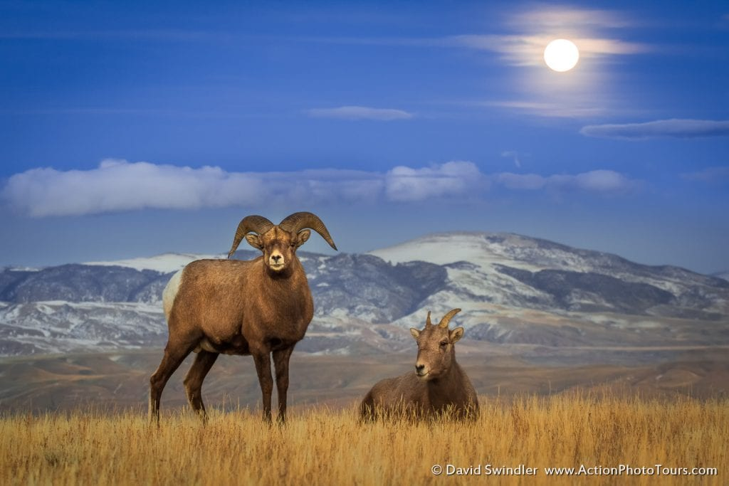 Shutter Speed for Wildlife Photography Long Exposure Bighorn Sheep Moon