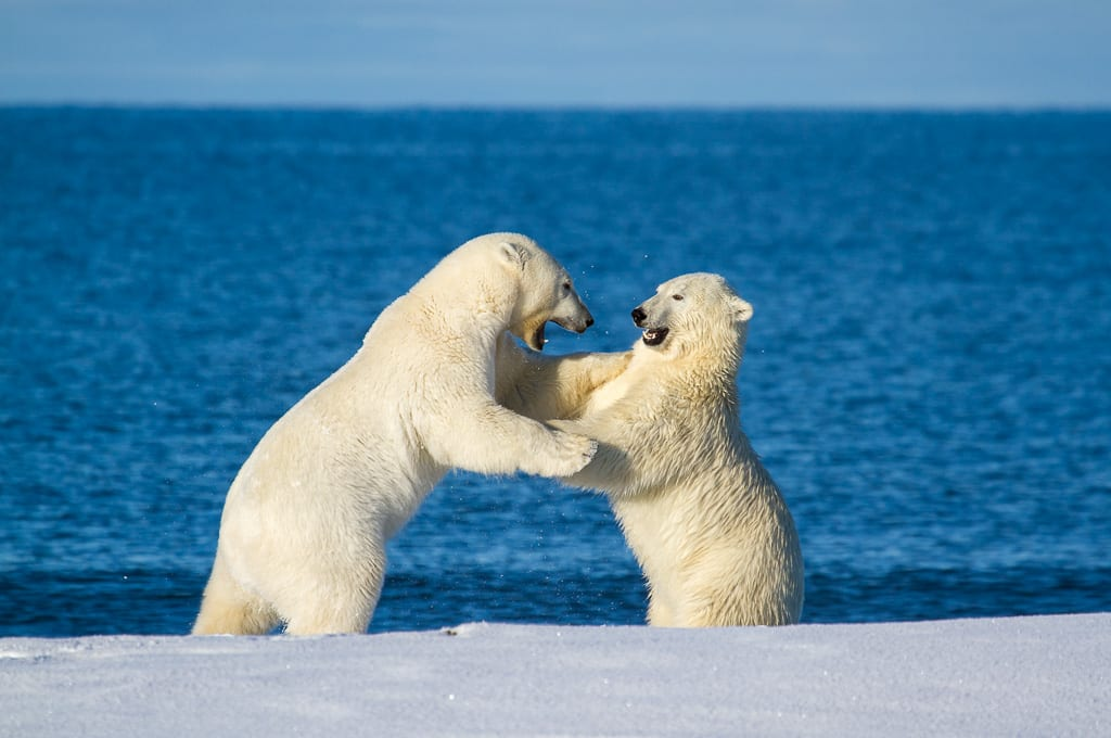 Shutter Speed Camera Settings for Wildlife Photography Polar Bears Sparring