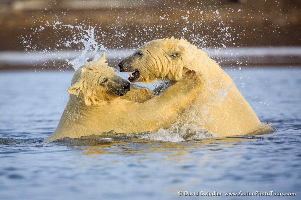 Polar Bears Sparring in the Water