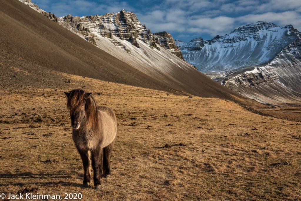 Icelandic Horse - Jack Kleinman