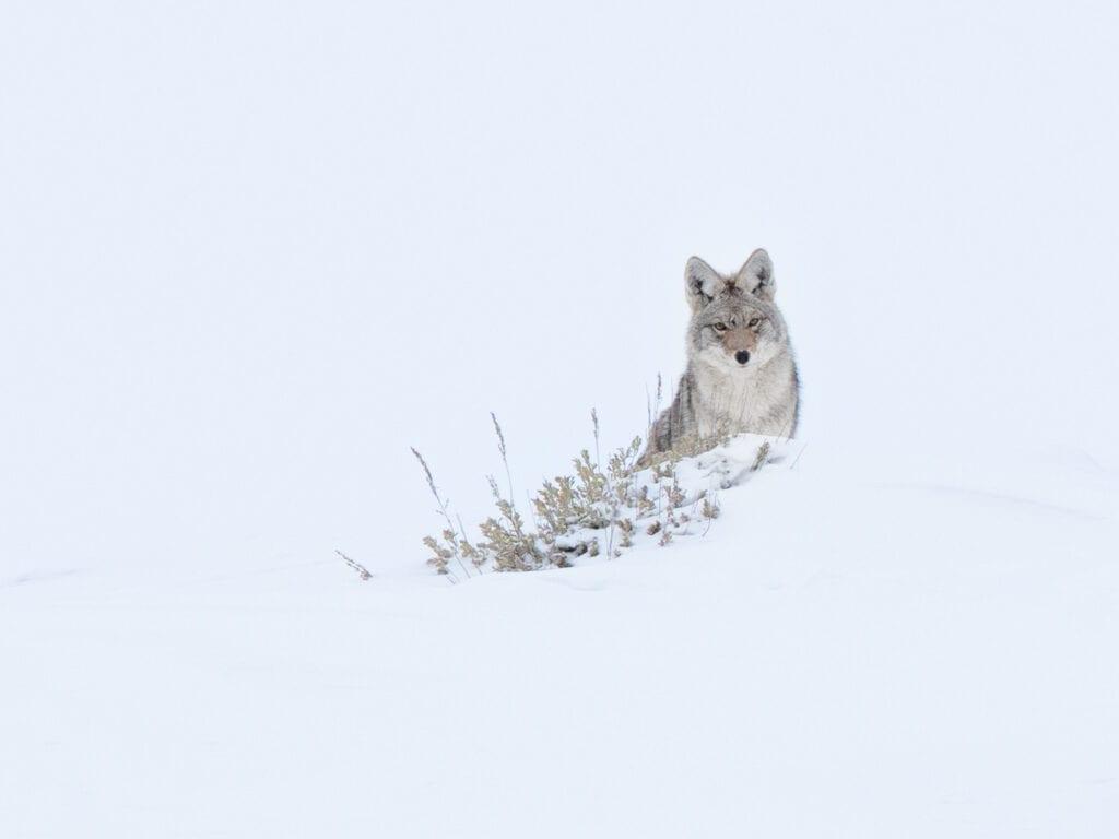 Yellowstone Coyote - Belva Hayden