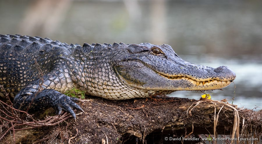 Cypress Swamps Photo Workshop Fall Autumn Texas Louisiana Wildlife Alligator
