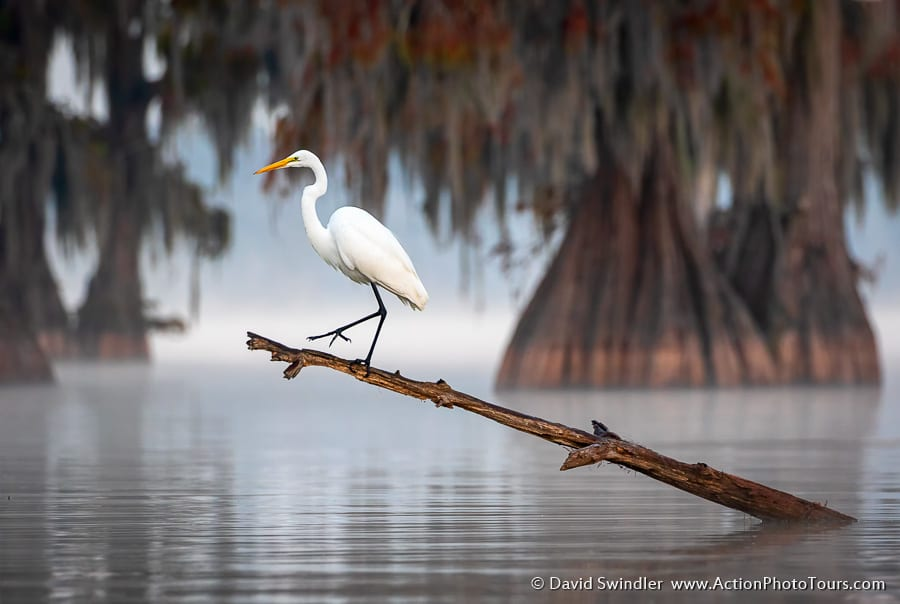 Cypress Swamps Photo Workshop Egret Wildlife Texas Louisiana