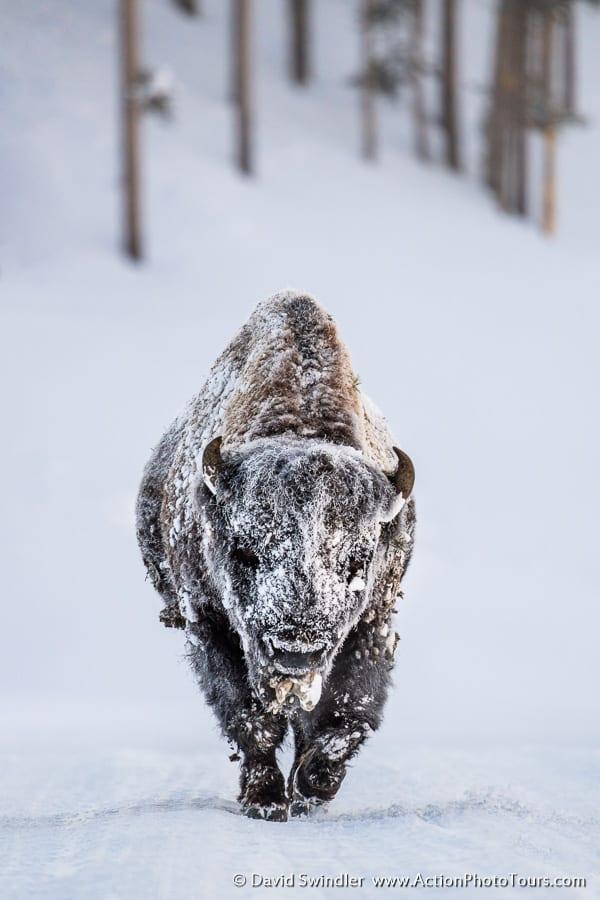 Yellowstone Winter Photo Workshop Frosty Bison