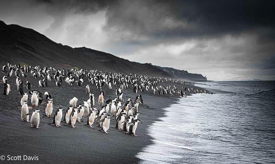 Antarctica_chinstrap-penguin012_Scott Davis