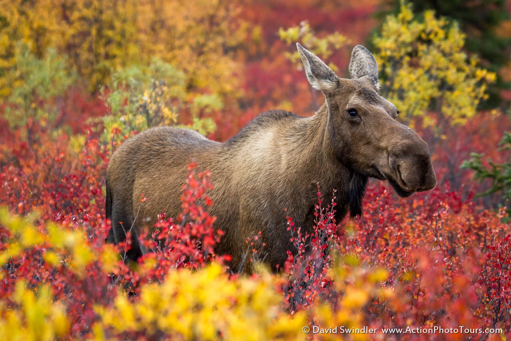 Alaska Fall Photo Workshop Denali Moose