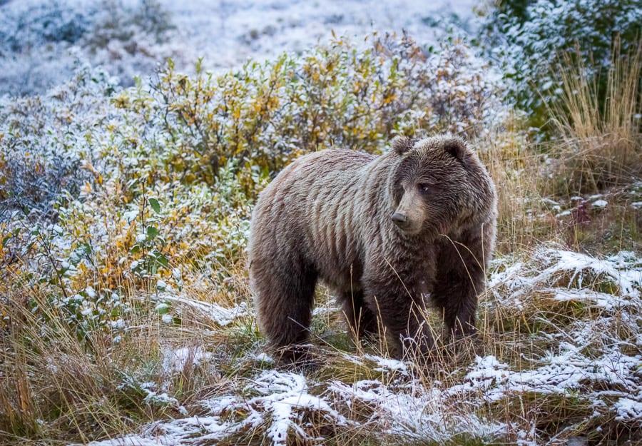 alaska bear snow fall autumn grizzly