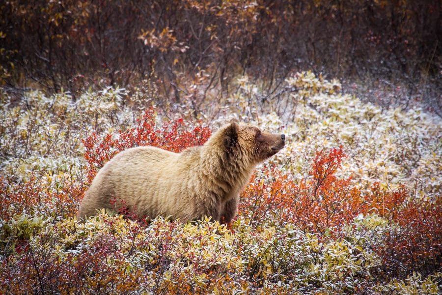 alaska bear snow fall autumn grizzly