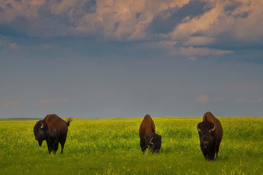 South Dakota Badlands Workshop - Badlands National Park Bison Wildlife Photography